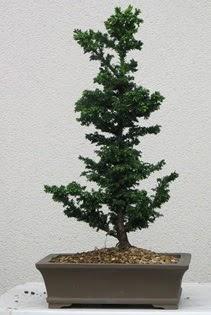 Çam ağacı bonsai bitkisi satışı  Çiçekçi Bursa sitesi inegöl çiçek mağazası , çiçekçi adresleri