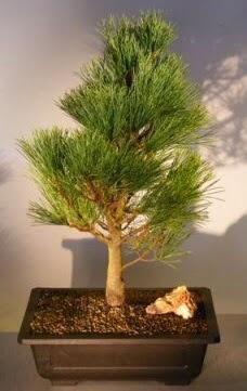 Çam ağacı japon ağacı bitkisi bonsai  Çiçekçi Bursa sitesi inegöl çiçek mağazası , çiçekçi adresleri