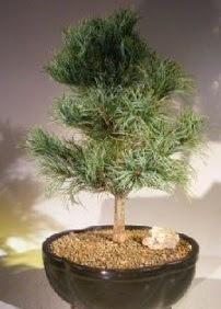 Çam ağacı bonsai bitkisi satışı  Bursa çiçek yolla osmangazi online çiçekçi , çiçek siparişi