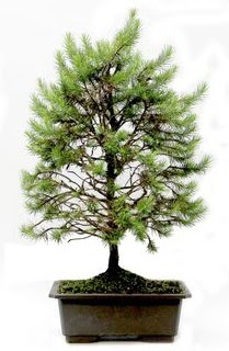 *** STOKTA YOK - Çam ağacı bonsai bitkisi satışı  Bursa çiçek ucuz çiçek gönder
