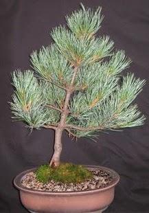 Bonsai çam ağacı japon ağacı bitkisi  Online Bursa çiçekçi