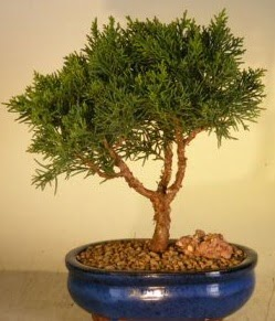 Servi çam bonsai japon ağacı bitkisi  Bursa çiçek satışı iznik hediye sevgilime hediye çiçek