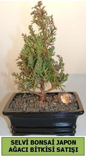 Selvi çam japon ağacı bitkisi bonsai  Çiçekçi Bursa sitesi inegöl çiçek mağazası , çiçekçi adresleri