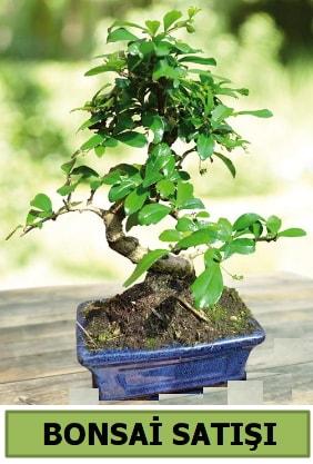 Çam bonsai japon ağacı satışı  Bursa çiçekçi inegöl kaliteli taze ve ucuz çiçekler