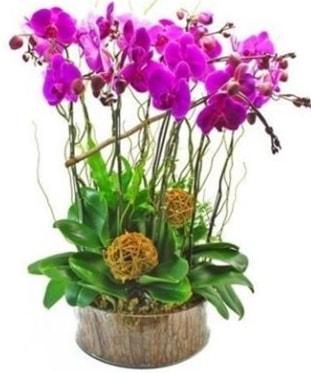 Ahşap kütükte lila mor orkide 8 li  Bursa çiçek siparişi
