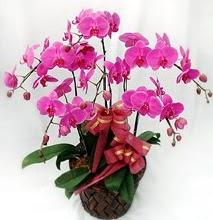Sepet içerisinde 5 dallı lila orkide  Bursa çiçek yolla osmangazi online çiçekçi , çiçek siparişi