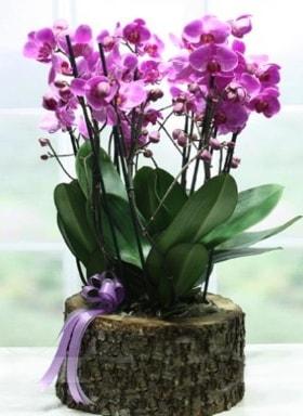 Kütük içerisinde 6 dallı mor orkide  Bursa çiçek yolla osmangazi online çiçekçi , çiçek siparişi