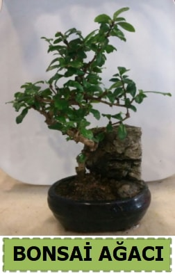 Bonsai ağacı japon ağacı satışı  Bursa çiçek satışı Bursa çiçek yolla
