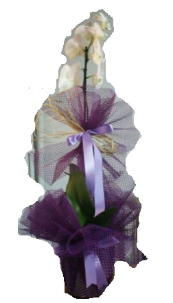 Tek dallı beyaz orkide süper kalite ithal  Online Bursa çiçekçi