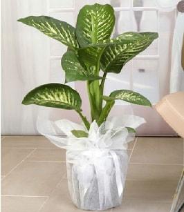 Tropik saksı çiçeği bitkisi  Bursa çiçekçi inegöl kaliteli taze ve ucuz çiçekler