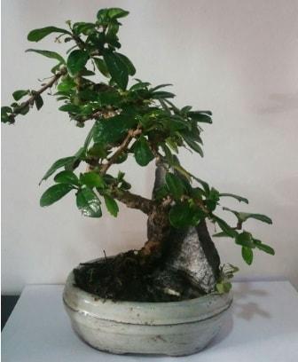 S şeklinde ithal bonsai ağacı  Bursa çiçek satışı iznik hediye sevgilime hediye çiçek