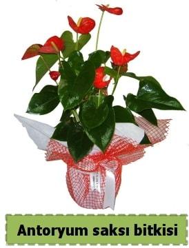 Antoryum saksı bitkisi satışı  Bursa çiçek büyük orhan yurtiçi ve yurtdışı çiçek siparişi