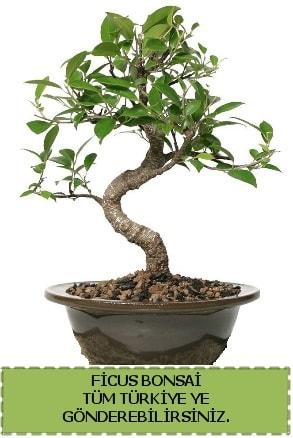 Ficus bonsai  Çiçekçi Bursa sitesi nilüfer anneler günü çiçek yolla