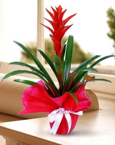 Guzmanya Saksı Çiçeği  Bursa çiçek satışı iznik hediye sevgilime hediye çiçek