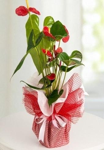 Anthurium Saksı Çiçeği  Bursa çiçek satışı Bursa çiçek yolla