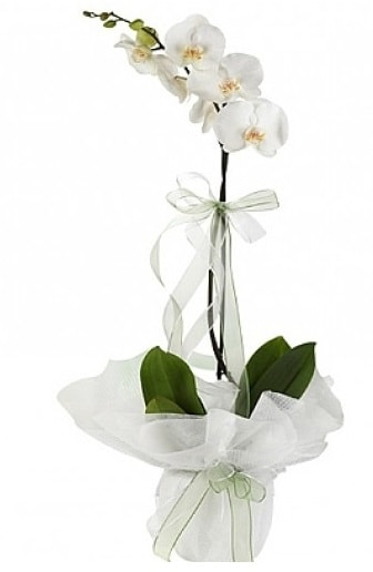 Tekli Beyaz Orkide  Bursa çiçek satışı Bursa çiçek yolla
