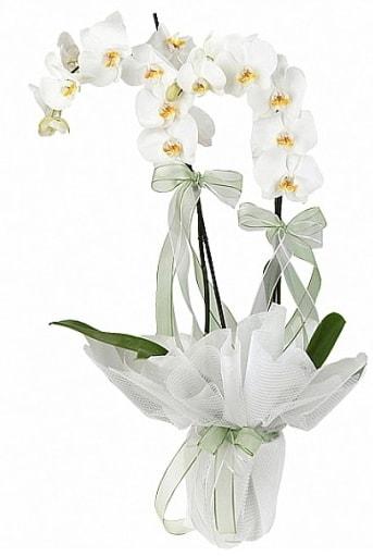 Çift Dallı Beyaz Orkide  Çiçekçi Bursa sitesi nilüfer çiçek siparişi vermek