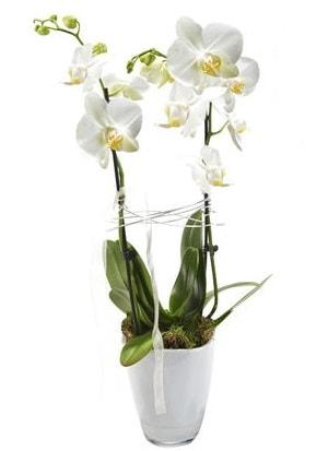 2 dallı beyaz seramik beyaz orkide saksısı  Çiçekçi Bursa sitesi nilüfer anneler günü çiçek yolla