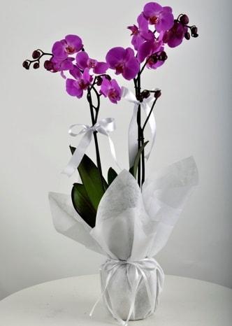 Çift dallı saksıda mor orkide çiçeği  Bursa çiçek karacabey çiçekçi telefonları