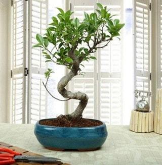 Amazing Bonsai Ficus S İthal  Bursadaki çiçekçi bursaya çiçek