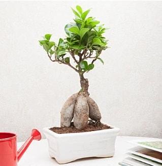Exotic Ficus Bonsai ginseng  Çiçekçi Bursa sitesi osmangazi internetten çiçek satışı