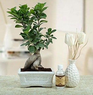 Ginseng ficus bonsai  Çiçekçi bursa çiçek firması