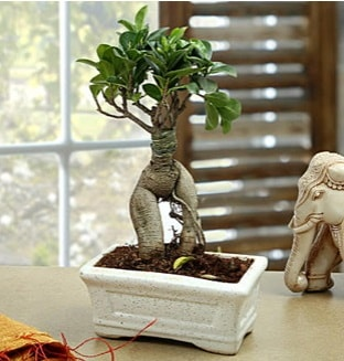 Marvellous Bonsai ginseng  Online Bursa çiçekçi