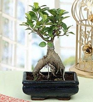 Appealing Ficus Ginseng Bonsai  Çiçekçi Bursa sitesi nilüfer çiçek siparişi vermek