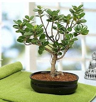 Lovely Ficus Iceland Bonsai  Çiçekçi Bursa sitesi nilüfer çiçek siparişi vermek