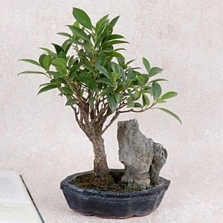 Japon ağacı Evergreen Ficus Bonsai  Çiçekçi Bursa sitesi nilüfer anneler günü çiçek yolla