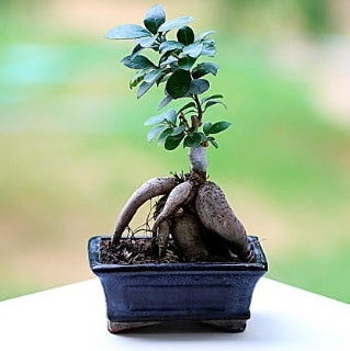 Marvellous Ficus Microcarpa ginseng bonsai  Bursa çiçek karacabey çiçekçi telefonları