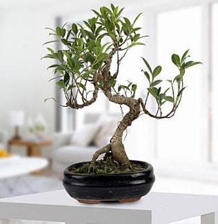 Gorgeous Ficus S shaped japon bonsai  Bursa çiçekçi karacabey 14 şubat sevgililer günü çiçek