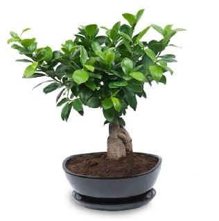 Ginseng bonsai ağacı özel ithal ürün  Bursa çiçek siparişi