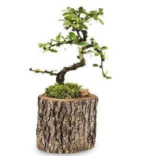 Doğal kütükte S bonsai ağacı  Bursa çiçekçi inegöl kaliteli taze ve ucuz çiçekler