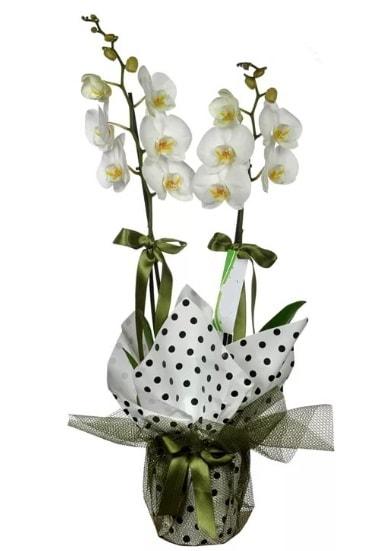 Çift Dallı Beyaz Orkide  Çiçekçi Bursa sitesi gemlik güvenli kaliteli hızlı çiçek