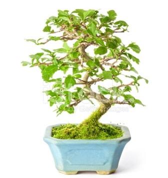 S zerkova bonsai kısa süreliğine  Bursa çiçekçiler nilüfer cicekciler , cicek siparisi
