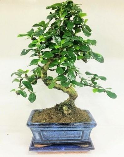 S Bonsai japon ağacı bitkisi  Bursadaki çiçekçi nilüfer hediye çiçek yolla