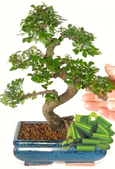 Yaklaşık 25 cm boyutlarında S bonsai  Online Bursa çiçekçi