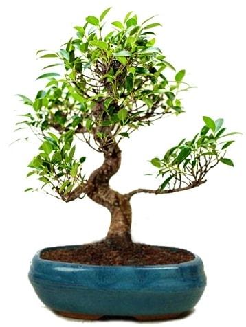 25 cm ile 30 cm aralığında Ficus S bonsai  Çiçekçi Bursa sitesi nilüfer anneler günü çiçek yolla