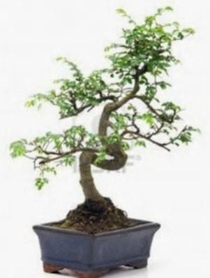 S gövde bonsai minyatür ağaç japon ağacı  Bursa çiçekçi inegöl kaliteli taze ve ucuz çiçekler