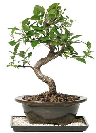 Altın kalite Ficus S bonsai  Çiçekçi Bursa sitesi inegöl çiçek mağazası , çiçekçi adresleri  Süper Kalite