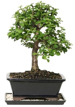 15 cm civarı Zerkova bonsai bitkisi  Online Bursa çiçekçi