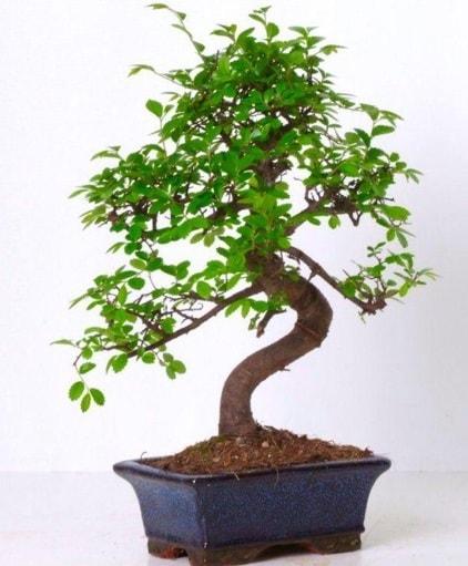 S gövdeli bonsai minyatür ağaç japon ağacı  Çiçekçi Bursa sitesi nilüfer anneler günü çiçek yolla