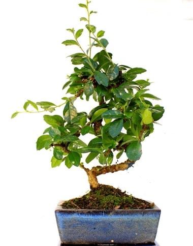 S gövdeli carmina bonsai ağacı  Bursa çiçek satışı iznik hediye sevgilime hediye çiçek  Minyatür ağaç