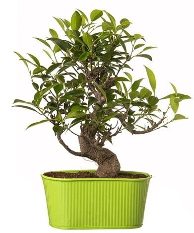 Ficus S gövdeli muhteşem bonsai  Online Bursa çiçekçi