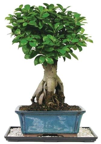 Bonsai Ginsing Grafted Ficus Bonsai  Bursa çiçek satışı iznik hediye sevgilime hediye çiçek