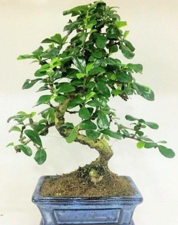 Zelkova S gövdeli Minyatür ağaç Bonzai  Bursa çiçek iznik çiçek online çiçek siparişi