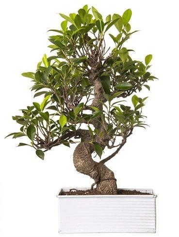 Exotic Green S Gövde 6 Year Ficus Bonsai  Çiçekçi Bursa sitesi nilüfer anneler günü çiçek yolla