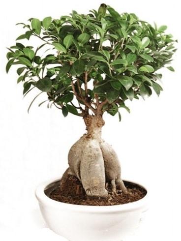 Ginseng bonsai japon ağacı ficus ginseng  Bursa çiçekçiler nilüfer cicekciler , cicek siparisi